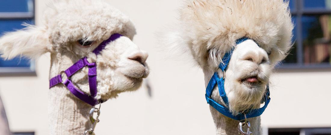 Finney-House-alpaca-visit-s