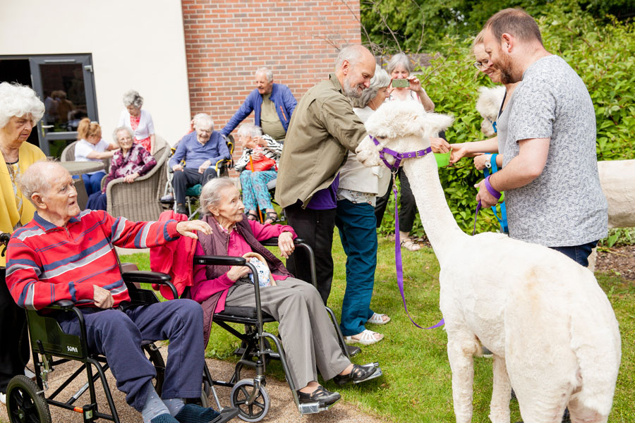 Alpacas come to Finney House